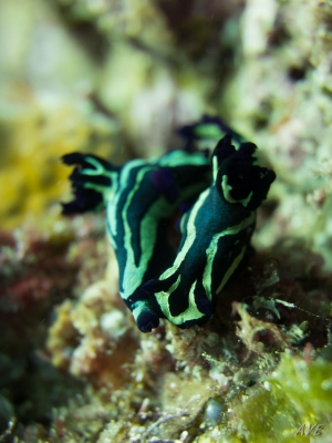 Nudibranches__DSC0051