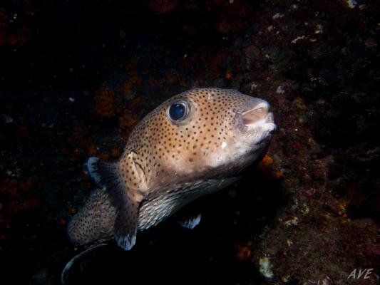 poisson-hérisson-ponctué__DSC0365