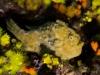 poisson-crapaud__DSC0102