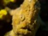 poisson-crapaud__DSC0104